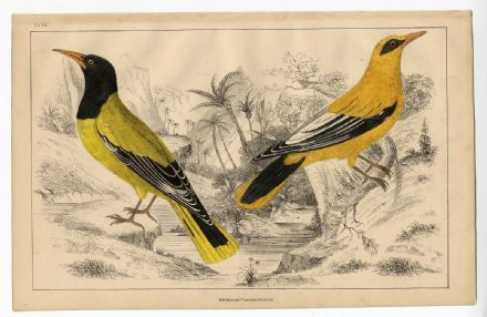 1858 Antique Print BIRD ORIOLE Black Headed & Checked VICTORIAN Oliver Goldsmith